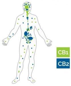 Your cannabinoid receptors